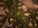 Comment fumer la fleur de CBD ?
